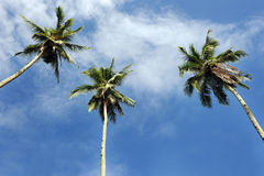 Coconut Tree. With blue sky and cloud royalty free stock photography
