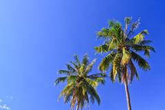 Coconut  tree. Coconut tree with blue sky background Stock Images