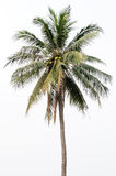 Coconut tree. On the white background Royalty Free Stock Photo