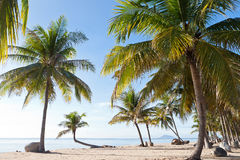 Coconut Tree. On the Beach, Thailand Stock Images