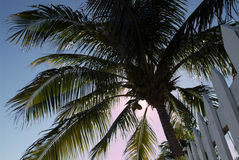 Coconut Tree. Tropical coconut tree in the afternoon sun Royalty Free Stock Photos