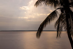 Coconut Tree. A coconut tree beside Rio Negro - Brazil Stock Image