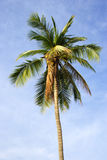 Coconut Tree. Close up Royalty Free Stock Images