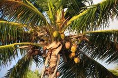 Coconut tree. Cayo Guillermo. Cuba Royalty Free Stock Photos