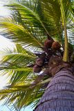 Coconut tree. Coconuts palm tree perspective view from floor high up Stock Image