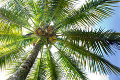 Coconut tree Royalty Free Stock Image