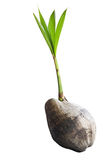 Coconut tree. Coconut trees are growing. It is on a white background Royalty Free Stock Photography