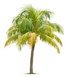Coconut tree. Isolated on white background Stock Images
