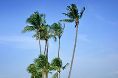 Coconut Tree. Against on blue sky Royalty Free Stock Photos