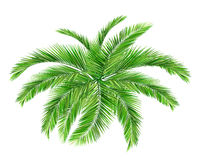 Coconut tree. Green leaves, summer Royalty Free Stock Image