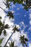 Coconut tree. And blue sky Stock Photography