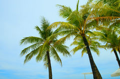 Coconut tree. On the beach Royalty Free Stock Photography
