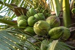Coconut tree. Close up of coconut Tree Stock Photography