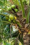 Coconut tree. Close up of coconut Tree stock photos