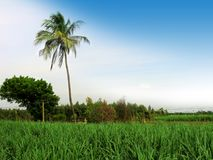 Coconut tree. With sugarcane land in madras india stock image