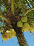 Coconut tree - 3. Close view of a coconut tree loaded with bunches of coconut fruits against a bright sunny sky. The water inside young coconuts is a naturally royalty free stock photography