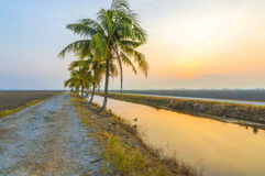 Coconut tree. With sunrise background at the empty field Royalty Free Stock Image