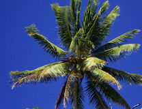 Coconut Tree Stock Photography