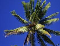 Coconut Tree. A coconut tree in Australia Stock Photography
