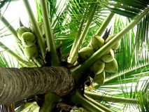 Coconut tree. Tree full of green coconuts Royalty Free Stock Photo