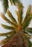 Coconut tree. Looking up at the coconut tree Stock Photography