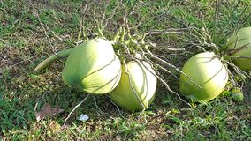 Coconut. From tree stock images
