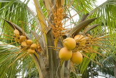 Coconut tree. Close up of a coconut tree loaded with bunches of coconut fruits Stock Photo