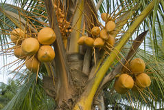 Coconut tree. Close up of a coconut tree loaded with bunches of coconut fruits Royalty Free Stock Photo