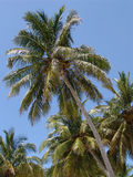Coconut Tree. A coconut tree on the beach royalty free stock images