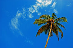 The coconut tree. Stock Photo