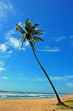 The coconut tree. Royalty Free Stock Images