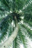 Coconut Tree. A tall coconut tree royalty free stock photo