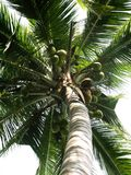 Coconut tree. Bottom view of coconut tree Royalty Free Stock Image