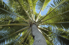 Coconut tree. Looking up the trunk of a backlit coconut tree Stock Image