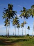 Coconut tree. By the beach Royalty Free Stock Photo