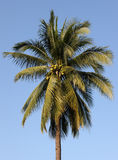 Coconut Tree. Specimen example of a coconut tree in fruit Stock Images