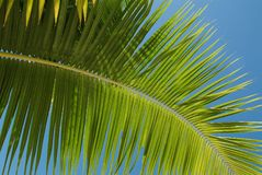 Free Coconut Tree Royalty Free Stock Image - 83796