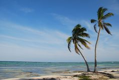 Coconut tree. On a nice beach in Mexico Royalty Free Stock Image