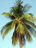 Coconut tree. A coconut tree high in the sky with coconuts visible Royalty Free Stock Photo