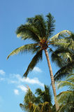 Coconut Tree. One Coconut Tree royalty free stock photos