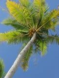 Coconut Tree. A Coconut Tree agains a blue sky on the island of Rangiroa, French Polynesia Stock Photo