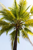 Coconut  tree against the blue skies Royalty Free Stock Image