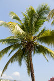 Coconut  tree against the blue skies. In thailand Stock Photo
