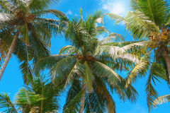 Coconut tree against blue sky. Stock Photography