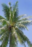 Coconut tree against the sky Stock Photos