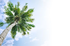 Coconut tree background. Coconut tree and sky background. Transition from sky to white background Stock Photography