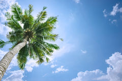 Coconut tree background. Coconut tree under blue sky and clouds Royalty Free Stock Photo
