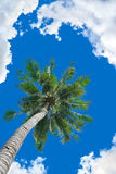 Coconut tree background. Coconut tree under blue sky and clouds Royalty Free Stock Photography