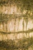 Coconut Tree Bark. Striped bark of a coconut palm tree Royalty Free Stock Image