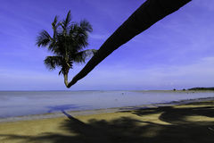 Coconut tree on the beach. The peculiar coconut tree on thebeach Stock Images